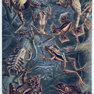 Free public domain Ernst Haeckel Batrachia amphibian illustration from the late 19th-century.