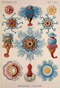 ernst haeckel illustrations deep sea siphonophorae set 2