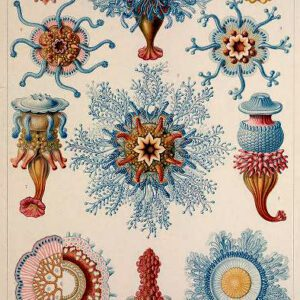 Ernst Haeckel siphonophorae Illustrations