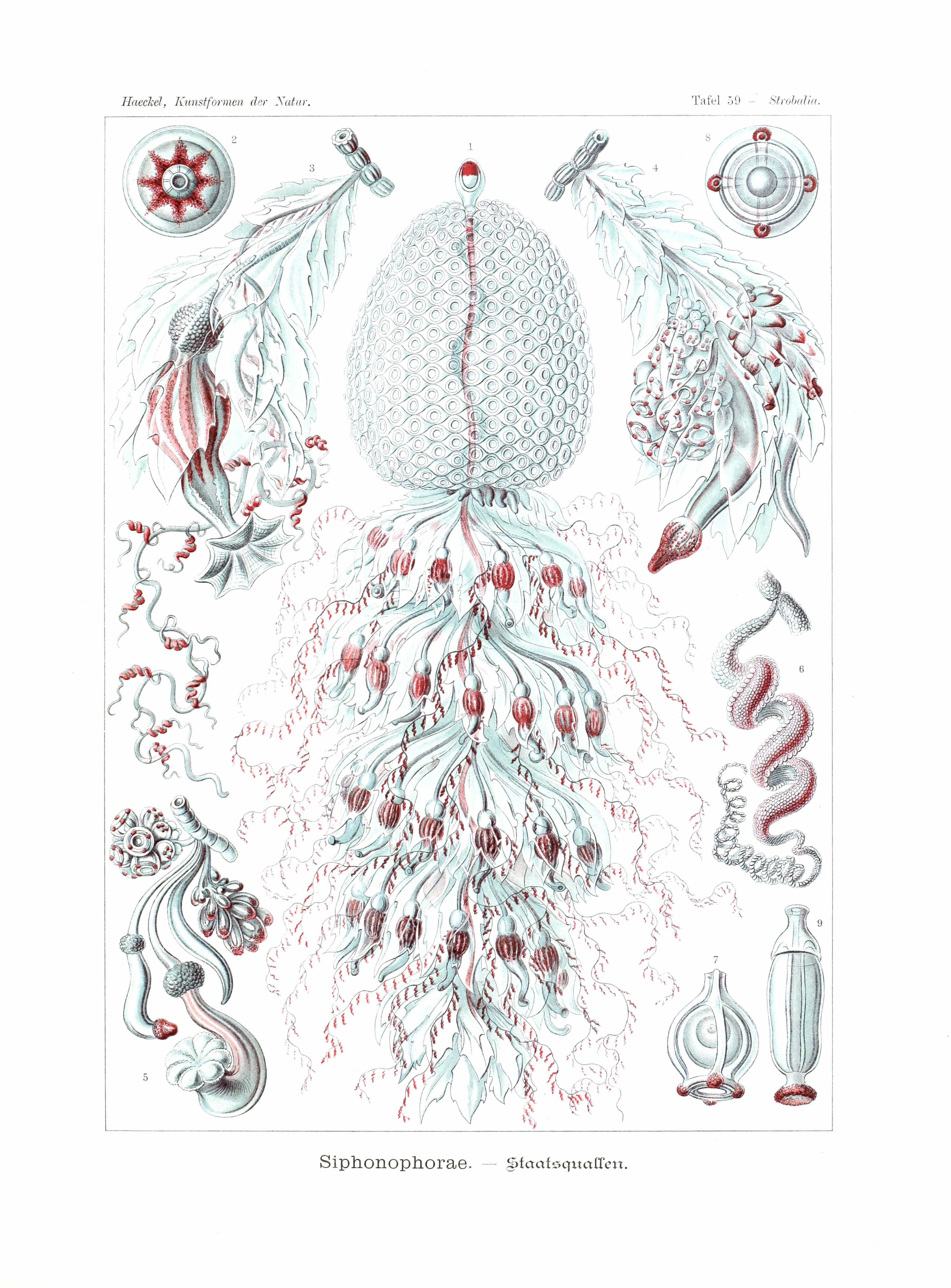 ernst haeckel illustrations deep sea siphonophorae