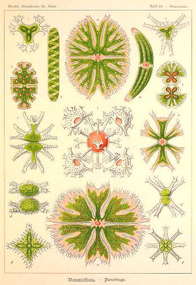 ernst haeckel illustrations desmidiea Desmidiaceae algae