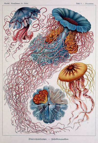 ernst haeckel illustrations discomedusae jellyfish