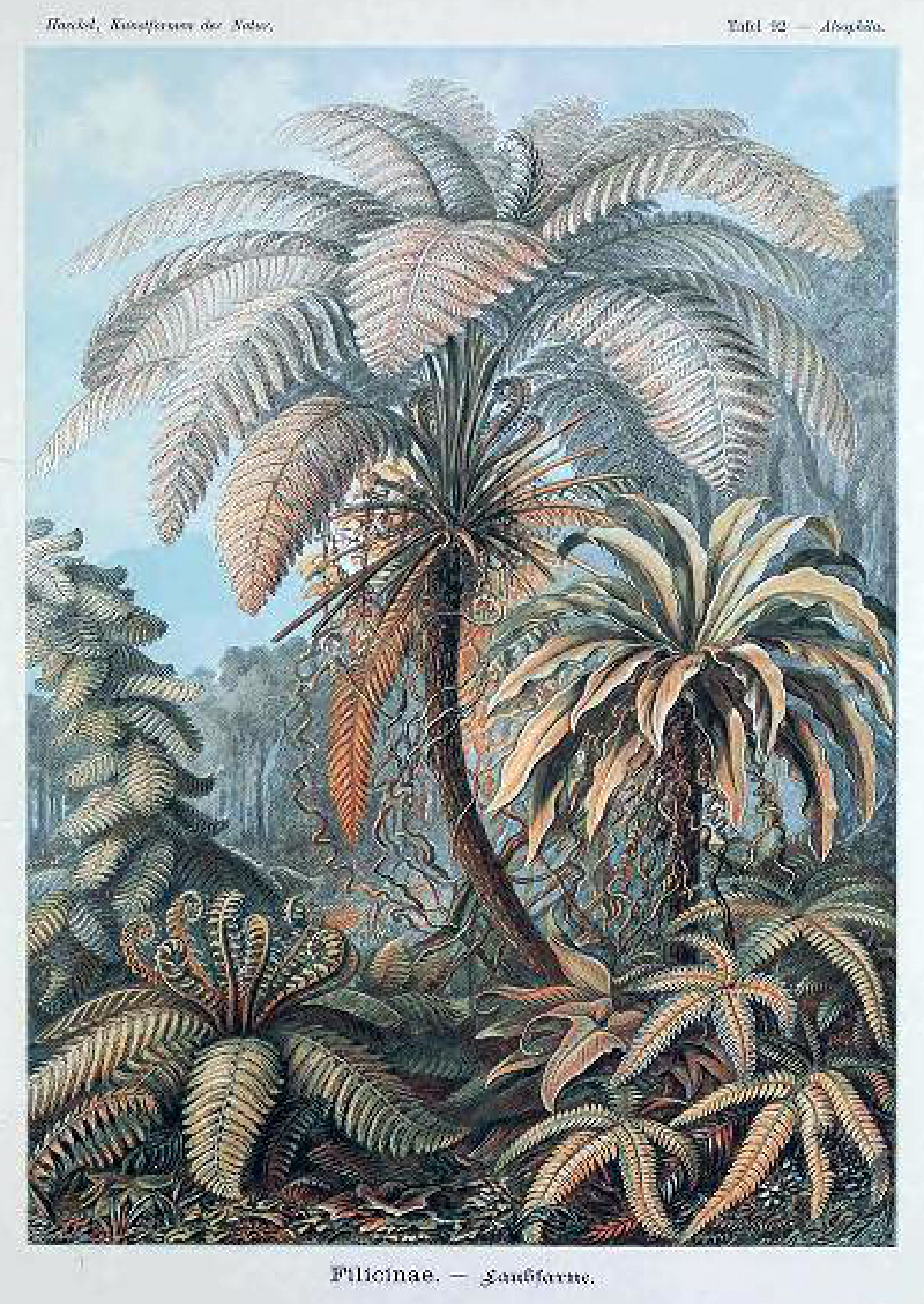 ernst haeckel illustrations filicinae fern