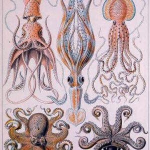 ernst haeckel illustrations gamochonia octopus