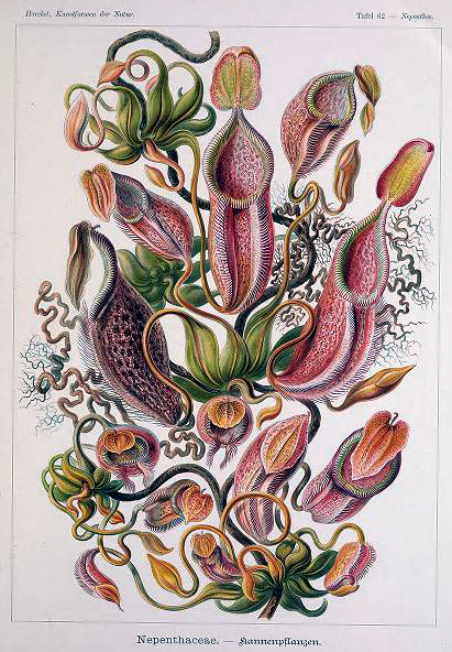 ernst haeckel illustrations nepenthaceae pitcher plants