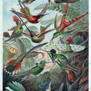 ernst haeckel illustrations trochilidae hummingbird