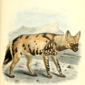hyena illustration 19th century