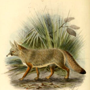 Canine images of 19th-century Indian Fox