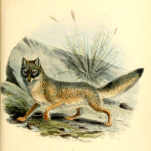 kit fox 19th century