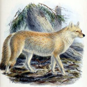 nothern dhole dog 19th century