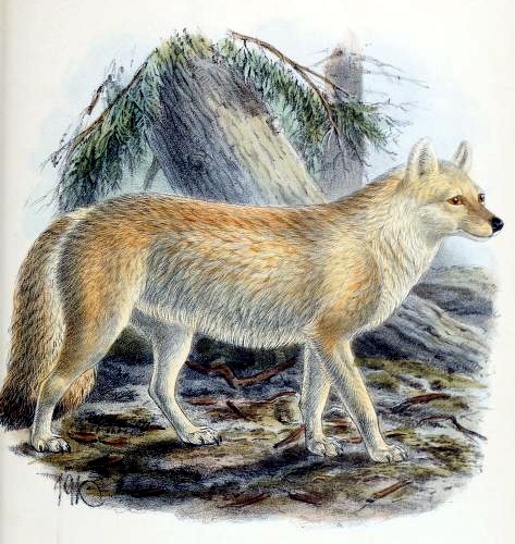 Antique dhole canine images from the 19th century