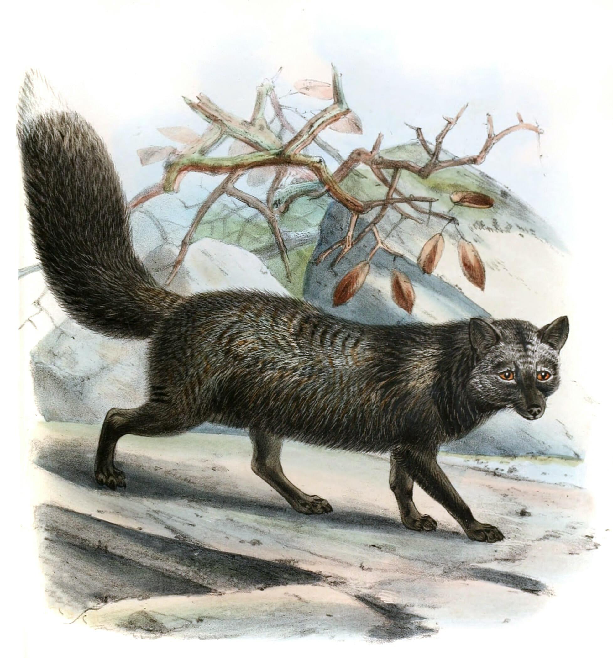silver fox 19th century