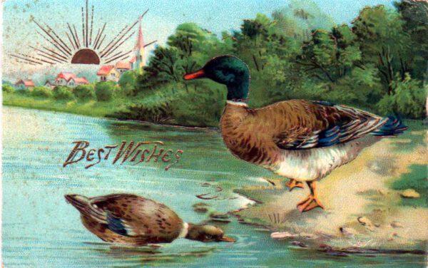vintage nature illustrations 19th century ducks