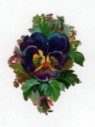 vintage nature illustrations pansy flower