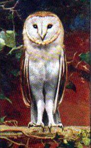 vintage nature illustrations white owl