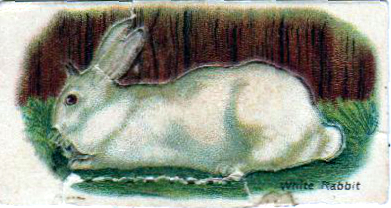 Vintage nature illustration of a white rabbit