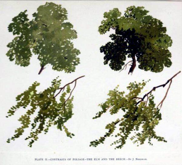 tree illustration elm and beech