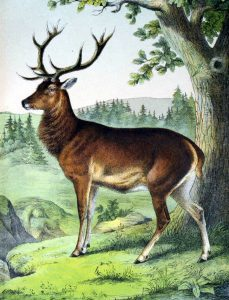 Free deer buck illustration from a 19th-century science book for children