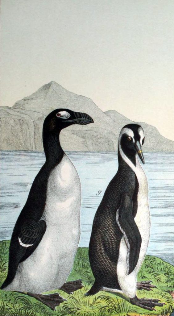 Free penguin illustration from a 19th-century children's textbook.