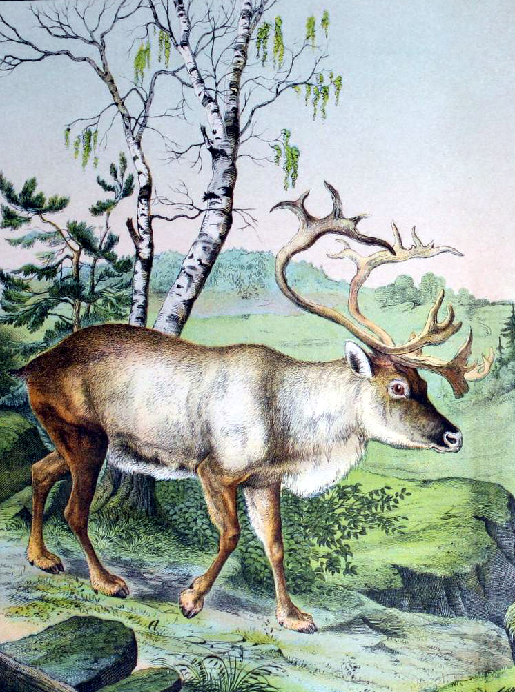 Free vintage reindeer illustration from a 19th-century children's science book