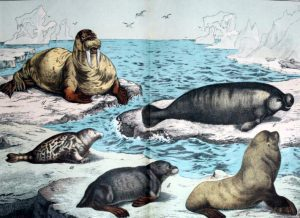 Free walrus and marine mammal illustration from the 19th-century