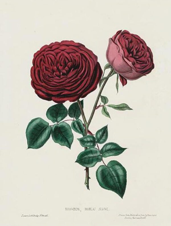 19th century dark rose illustration 2