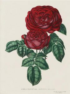 19th century dark rose illustration