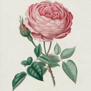 19th century pink rose illustration 2