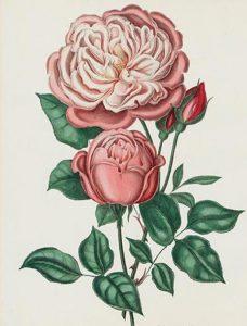 19th century pink rose illustration