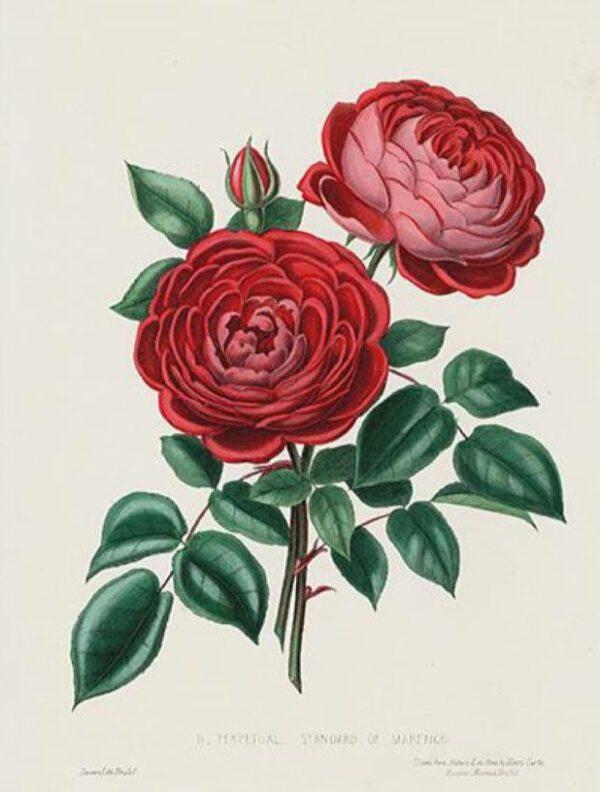 19th century red rose illustration