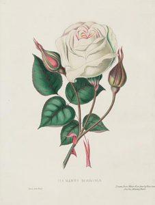 19th century white pink rose illustration