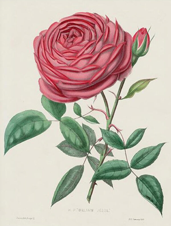 perfect pink rose public domain 1