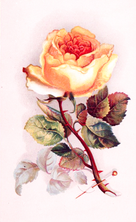 A yellow rose for valentines day, public domain.