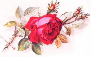 wild rose valentines day