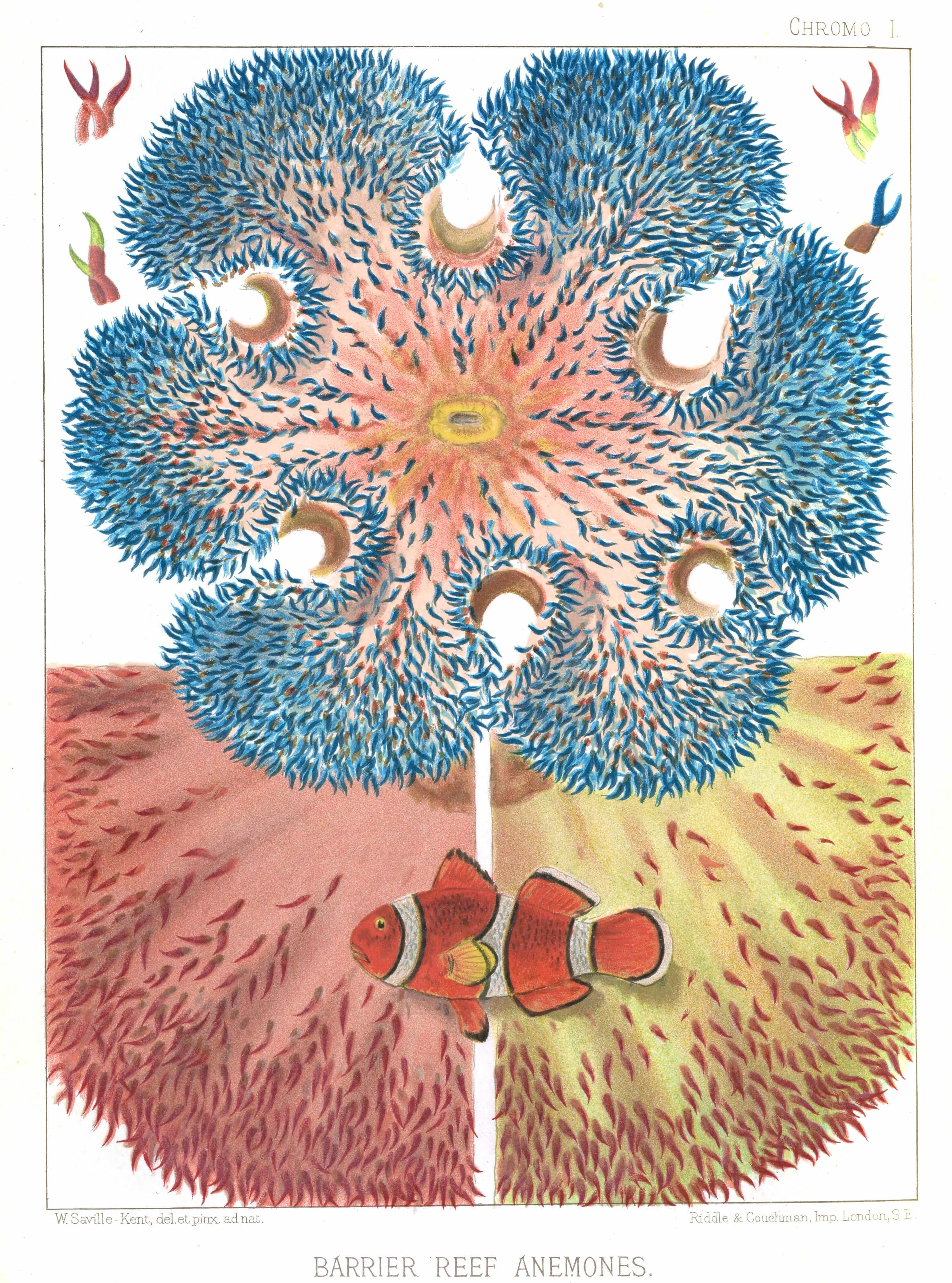Vintage public domain illustration of great barrier reef anemones