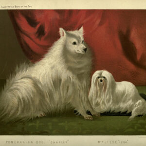 vintage Pomeranian illustration public domain