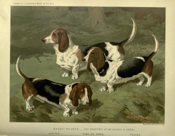 vintage basset hounds illustration public domain