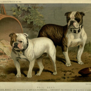 vintage bull dogs illustration public domain