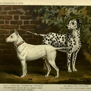 vintage bull terrier and dalmatian illustration public domain