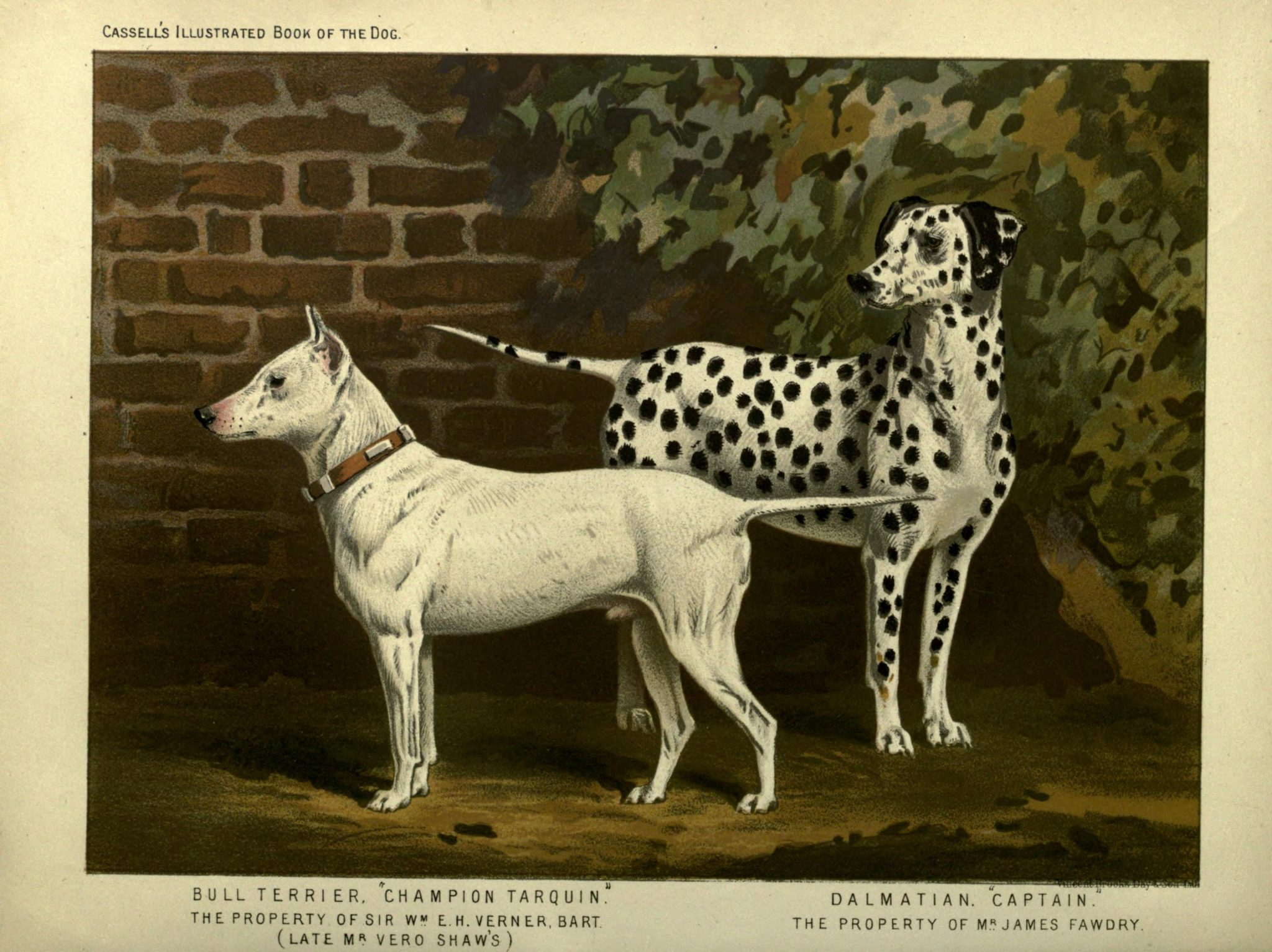 Free vintage bull terrier and dalmatian illustration public domain.