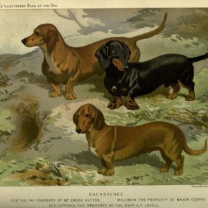 vintage dachshunds illustration public domain