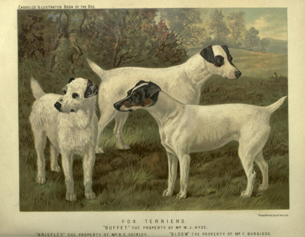 Free vintage fox terriers illustration public domain.