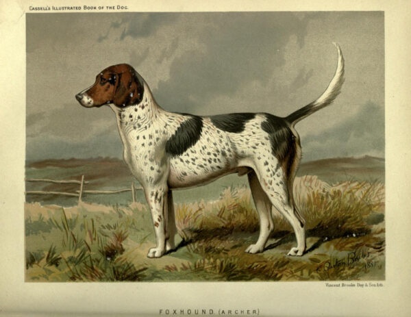 vintage foxhound dog illustration public domain