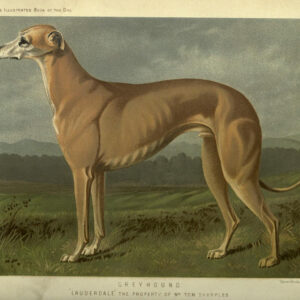 vintage greyhound dog illustration public domain