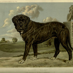 vintage mastiff illustration public domain
