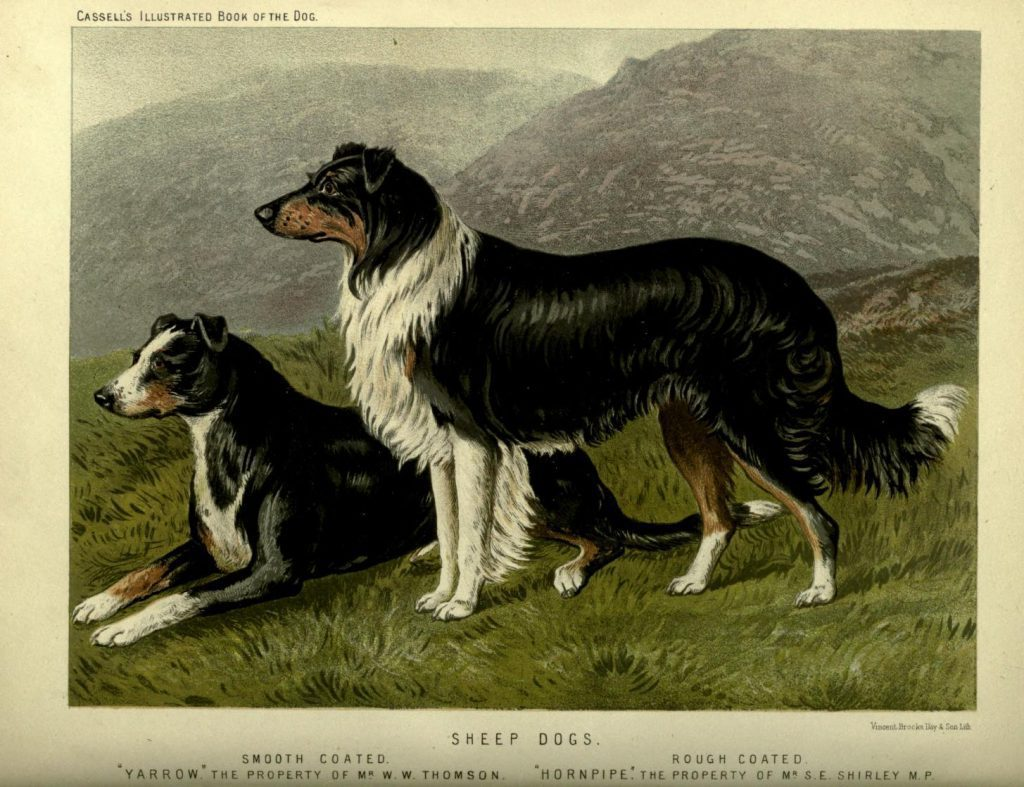 Free vintage sheep dogs illustration public domain.