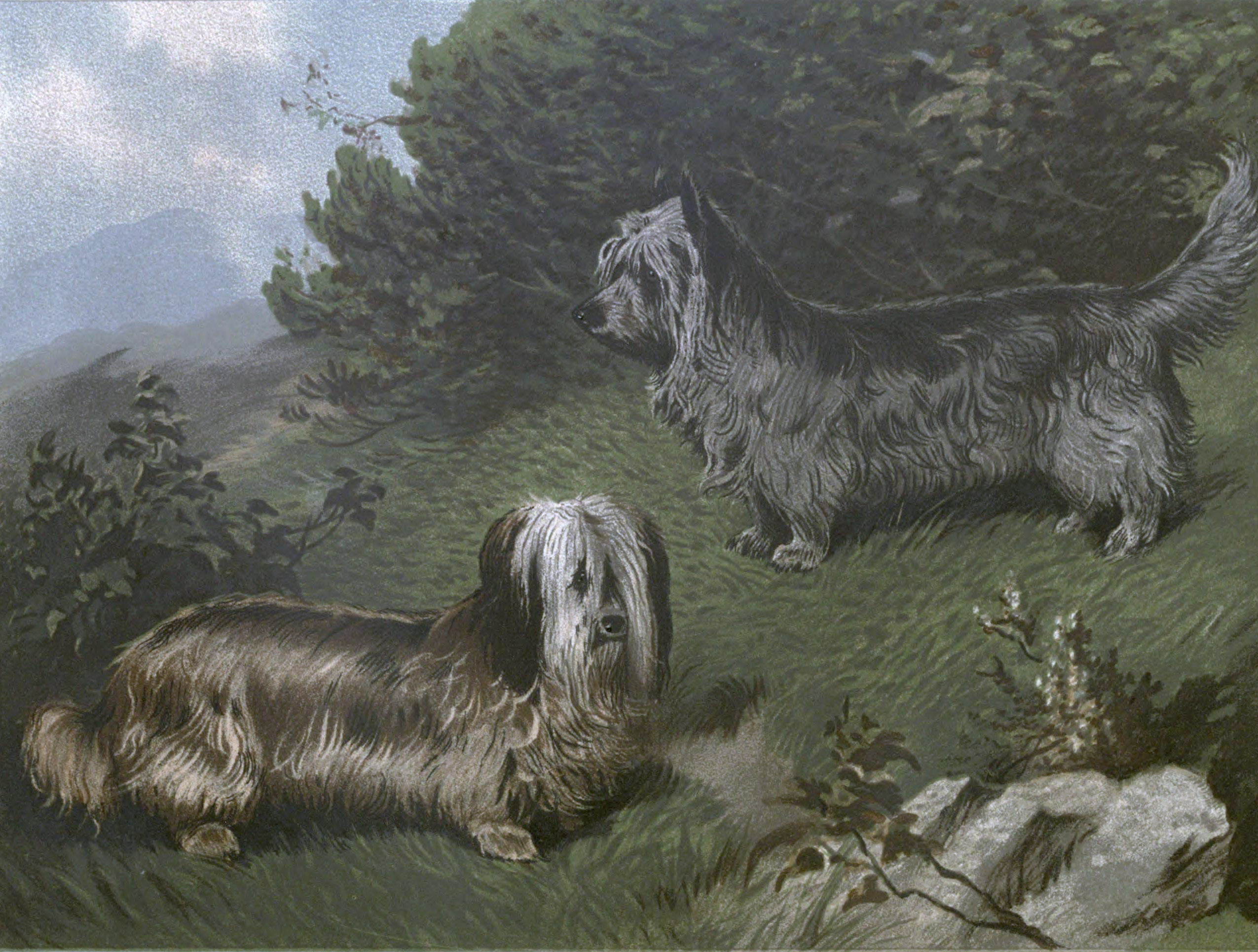 Free vintage skye terriers illustration public domain.
