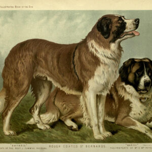 vintage st bernard dogs illustration public domain