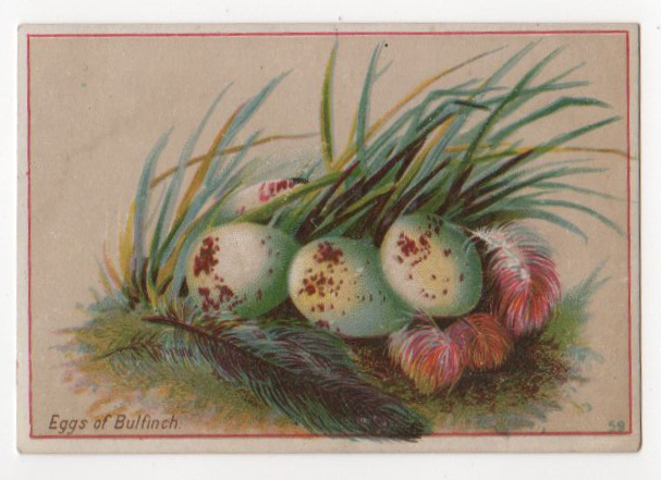 Vintage illustration of spotted eggs with feathers