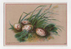 vintage spotted eggs illustration public domain 1
